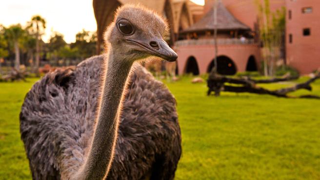 Disney Animal Kingdom Ostrich close up
